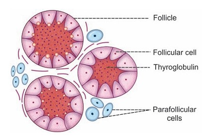 Thyroid Gland And Thyroid Hormones Bioscience Notes