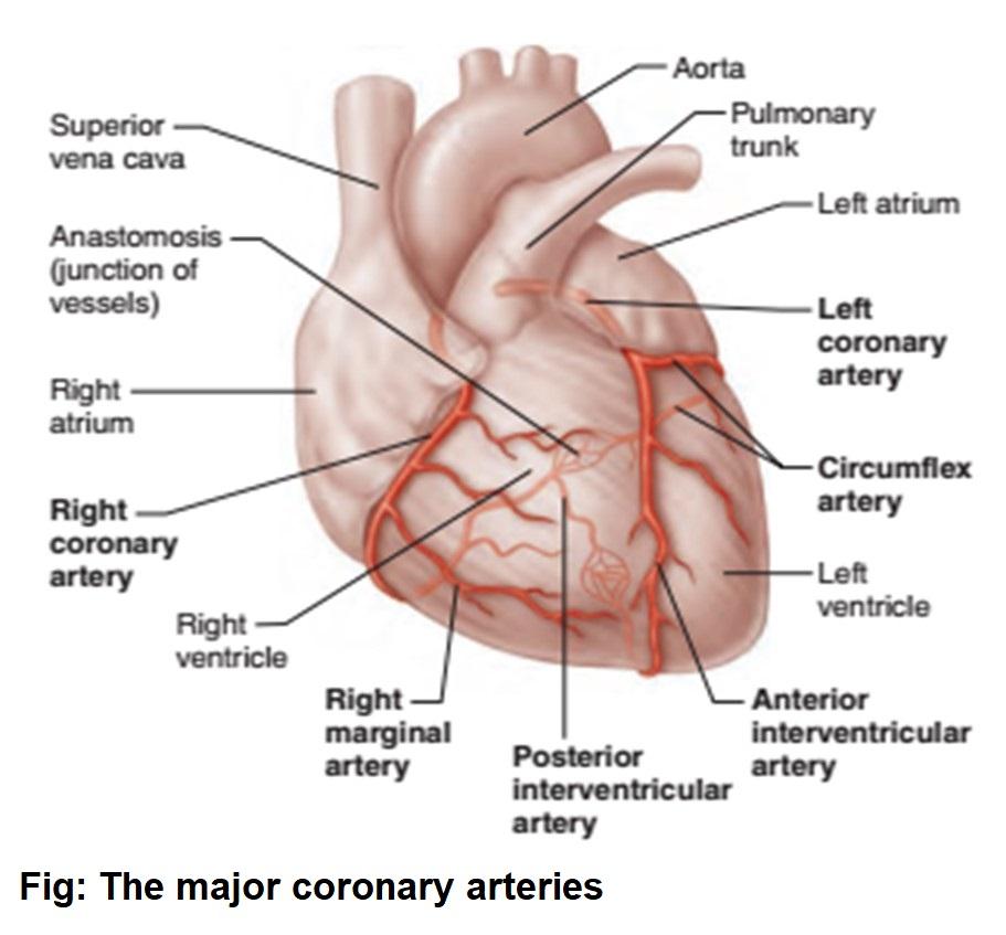 Coronary Circulation Of The Heart Bioscience Notes