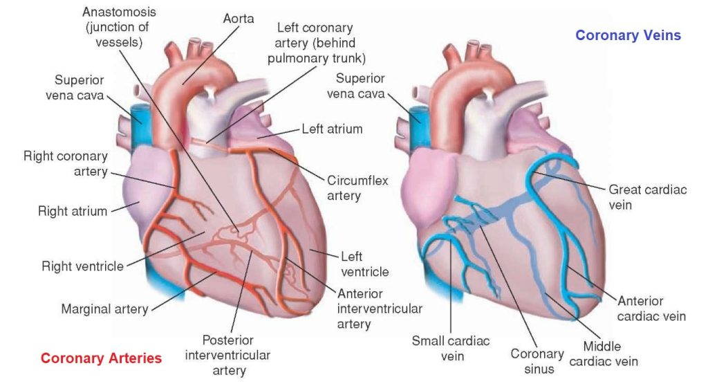 Coronary circulation of the heart bioscience notes coronary circulation of the heart ccuart Images