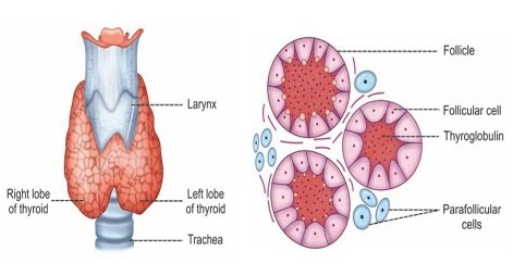 Thyroid Gland Bioscience Notes